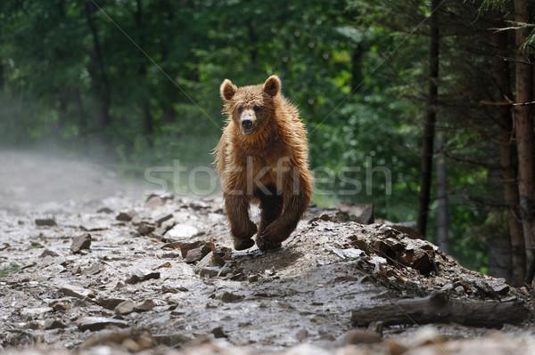 Orso orso bruno foresta pioggia sfondo esecuzione Foto d'archivio © byrdyak