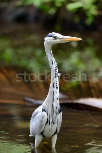 Garça-real grama rio costa pássaro Foto stock © byrdyak