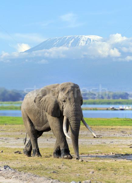 Elefánt park Kenya fű háttér hegy Stock fotó © byrdyak