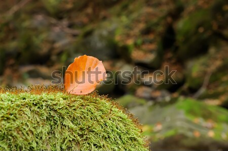 Closeup leaf in a moss Stock photo © byrdyak