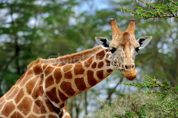 Giraffe wild afrika Kenia hemel natuur Stockfoto © byrdyak
