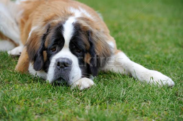 Aziz köpek yavrusu üzücü çim köpek mutlu Stok fotoğraf © byrdyak