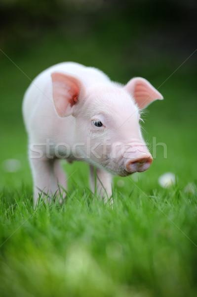 молодые свинья зеленая трава весны природы лет Сток-фото © byrdyak