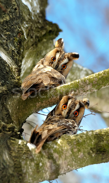Close-up owl Stock photo © byrdyak