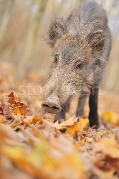 кабан осень лес глаза лист Сток-фото © byrdyak