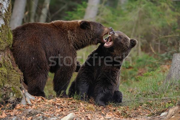 Büyük ayı orman ağaç doğa Stok fotoğraf © byrdyak