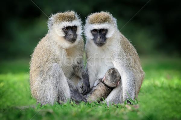 Stok fotoğraf: Maymun · üç · monkeys · park · ağaç · yüz