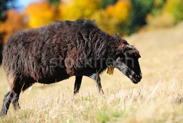 Koyun alan sonbahar yüz çiftlik genç Stok fotoğraf © byrdyak