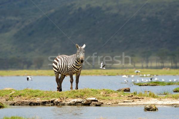 Stock foto: Zebra · Park · Afrika · Kenia · Natur · Pferd