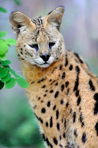 Gato caminando naturales medio ambiente hierba África Foto stock © byrdyak