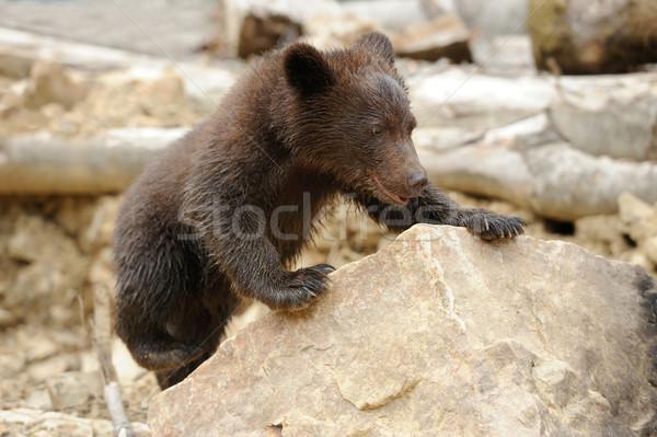 Barnamedve medvebocs erdő naplemente természet medve Stock fotó © byrdyak