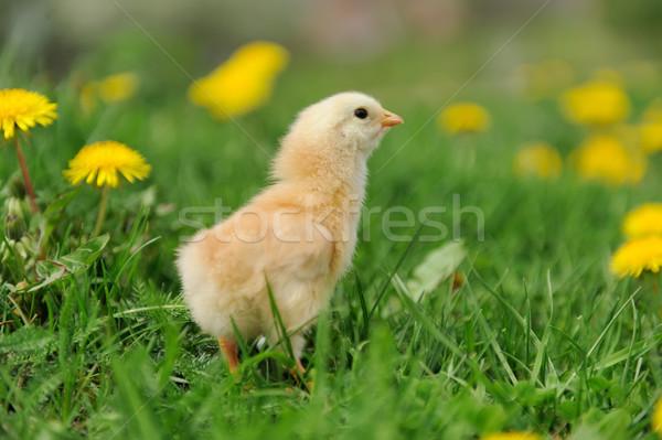 Stockfoto: Weinig · kip · gras · voorjaar · baby · ei