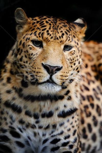 Leopar öfkeli siyah portre park Stok fotoğraf © byrdyak