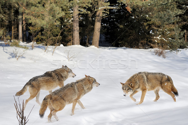 Wolfs Stock photo © byrdyak