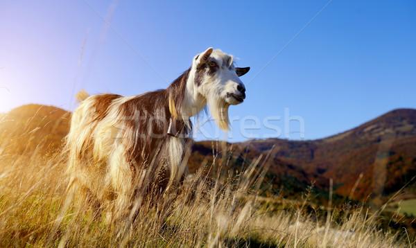 Goat in mountain Stock photo © byrdyak