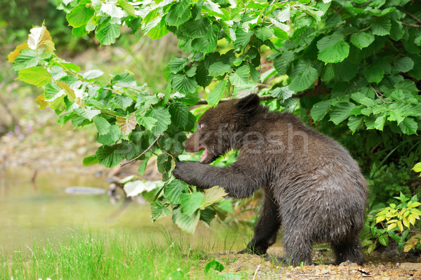 Bruine beer welp bos zonsondergang zomer beer Stockfoto © byrdyak