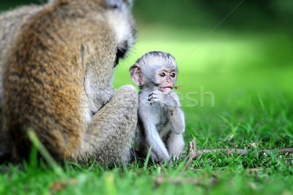 Vervet monkey Stock photo © byrdyak