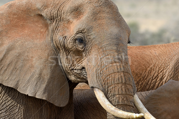 Elefante parque Quênia África bebê grama Foto stock © byrdyak