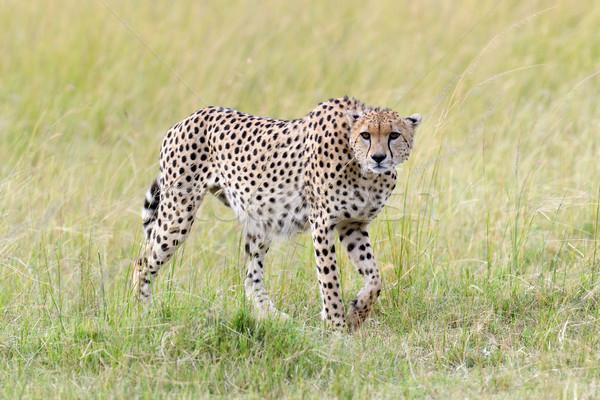 Gepárd Afrika Kenya vad afrikai gyönyörű Stock fotó © byrdyak