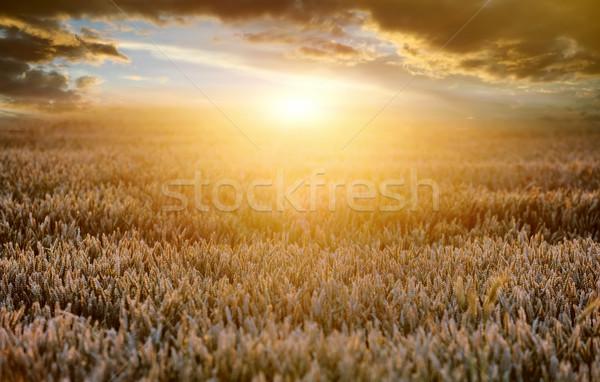Wheat field Stock photo © byrdyak