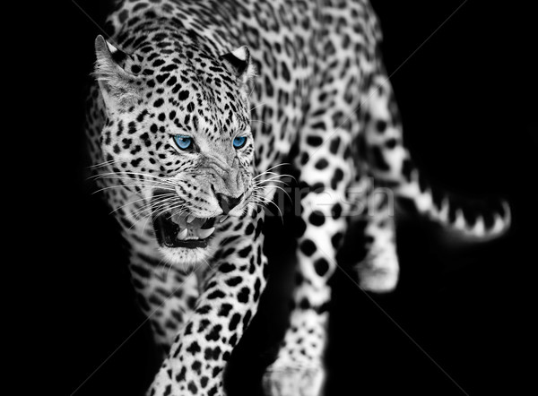 Leopard Stock photo © byrdyak