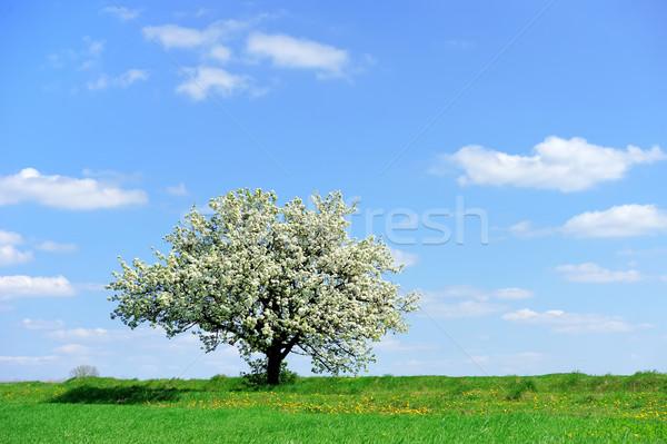 Albero primavera cielo sole panorama sfondo Foto d'archivio © byrdyak
