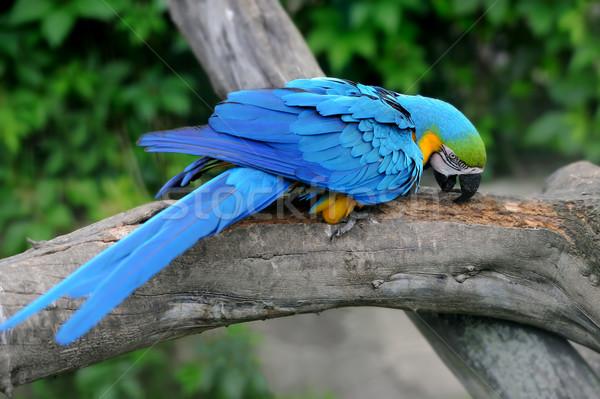Parrot bird (Severe Macaw) Stock photo © byrdyak