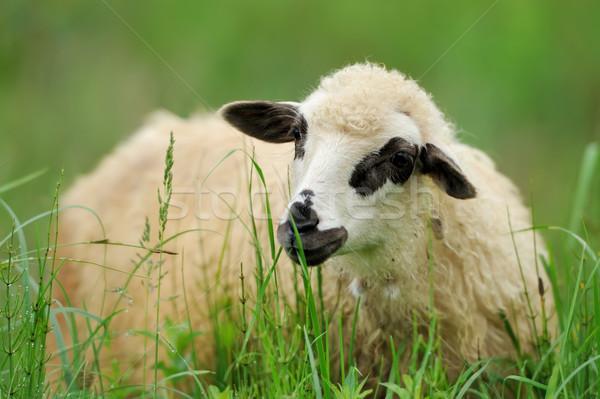Flock sheep on a summer field Stock photo © byrdyak