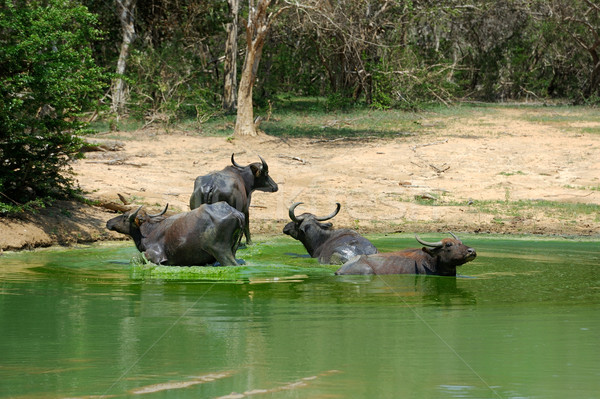 Water buffalo are bathing in a lake Stock photo © byrdyak