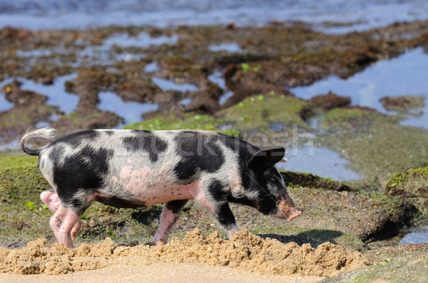Piglet at beach Stock photo © byrdyak