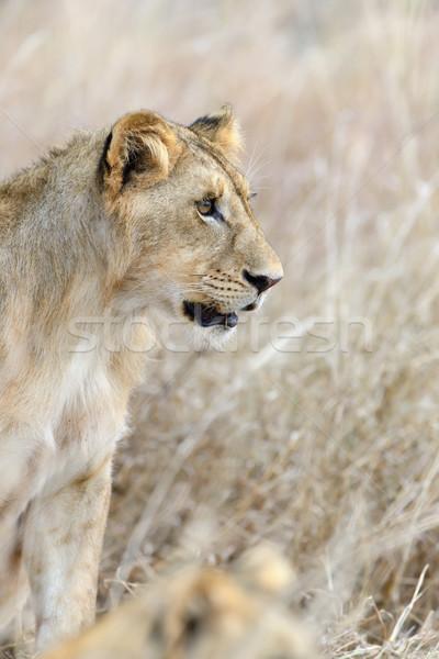 Oroszlán park Kenya Afrika közelkép macska Stock fotó © byrdyak