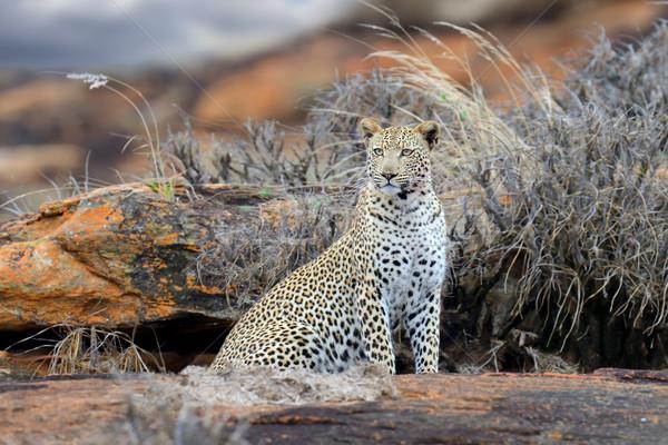Leopárd park Kenya Afrika közelkép fa Stock fotó © byrdyak