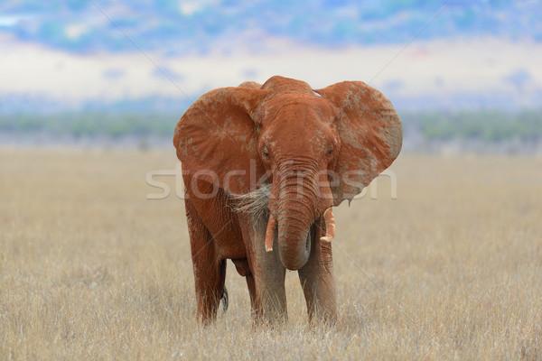 Fil park Kenya büyük Afrika bebek Stok fotoğraf © byrdyak