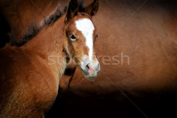 Tay kahverengi deri at bebek Stok fotoğraf © byrdyak