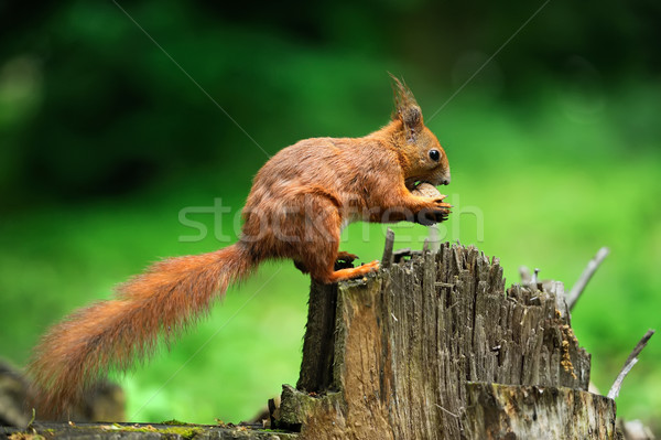 Squirrel with nuts Stock photo © byrdyak
