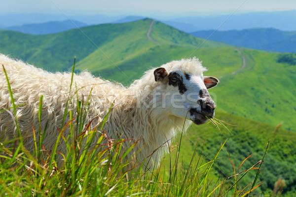 ストックフォト: 羊 · 山 · 群れ · 谷 · ツリー · 雲