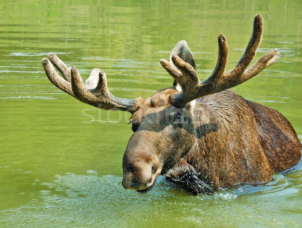 Eland zwemmen meer landschap portret herten Stockfoto © byrdyak