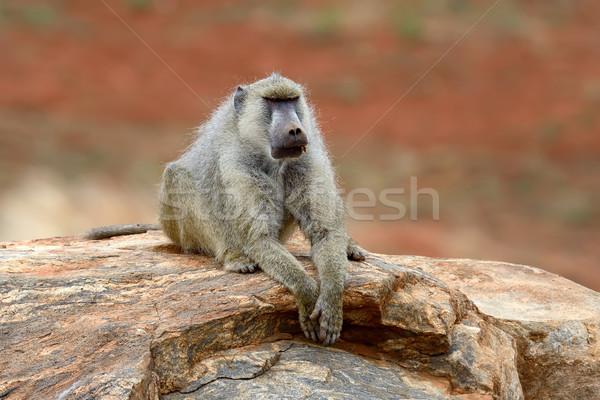 бабуин каменные парка Кения Африка природы Сток-фото © byrdyak