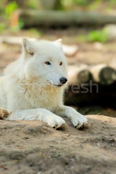Stock photo: White wolf