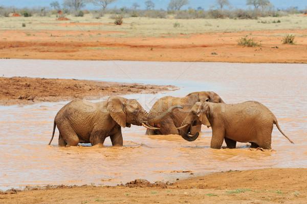 Elefánt park Kenya Afrika baba fű Stock fotó © byrdyak