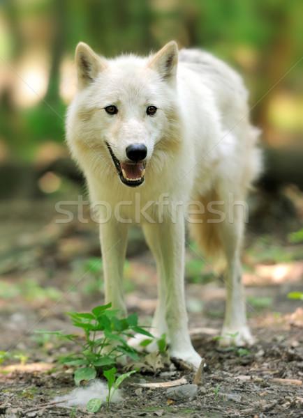 Wild wolf in the woods Stock photo © byrdyak