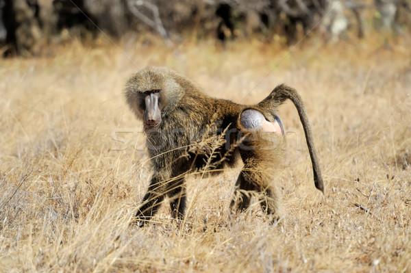 оливкового бабуин молодые парка Кения лице Сток-фото © byrdyak