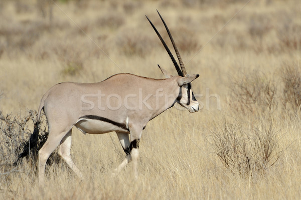Gemsbok Stock photo © byrdyak