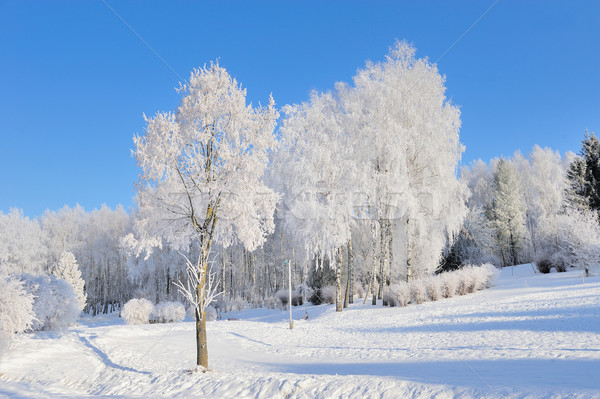 Invierno parque nieve forestales naturaleza Foto stock © byrdyak