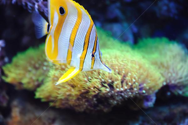 Tropical fish chelmon rostratus Stock photo © byrdyak