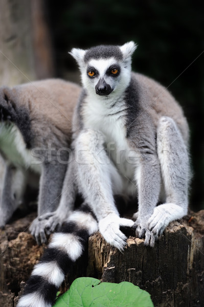 Young ring-tailed lemur Stock photo © byrdyak