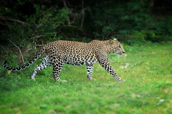 Leopárd vad sziget Sri Lanka szem arc Stock fotó © byrdyak