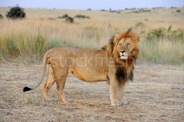 Stok fotoğraf: Aslan · yakın · park · Kenya · Afrika · kedi