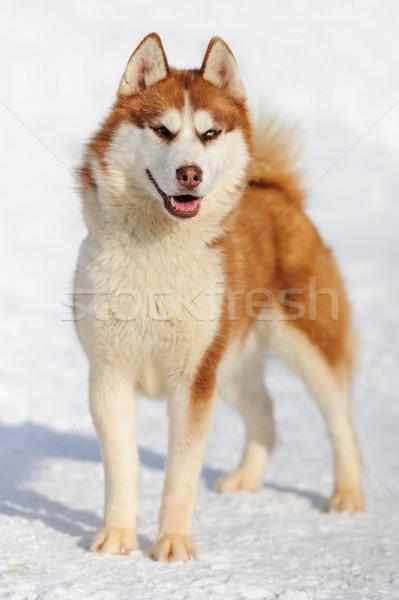 Husky cane inverno ritratto felice occhi Foto d'archivio © byrdyak