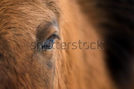 Göz at saç çiftlik Stok fotoğraf © byrdyak